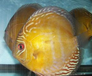 NovaOlindaDiscusFish