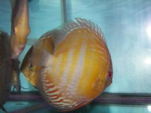NovaOlindaDiscusFish2